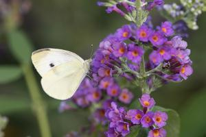 Cabbage White on Butterfly Bush, Illinois by Merrill Images