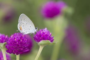 Eastern Tailed-Blue on Globe Amaranth, Illinois by Merrill Images