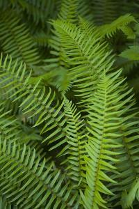Ferns, Hoh Rain Forest, Olympic National Park, Washington, USA by Merrill Images