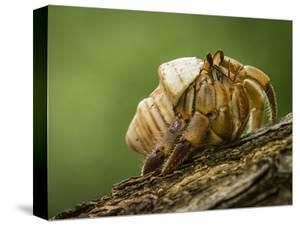 Isla Iguana Wildlife Refuge. Hermit crab. by Merrill Images