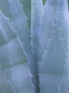 Leaves of Agave Plant, Arizona-Sonora Desert Museum, Tucson, Arizona, USA by Merrill Images