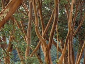 Madrona Trees on the San Juan Islands, Washington, USA by Merrill Images