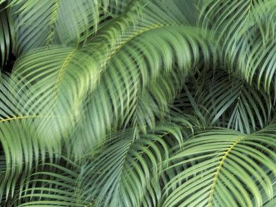 Palm Fronds, Big Island, Hawaii, USA