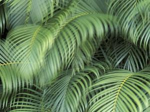 Palm Fronds, Big Island, Hawaii, USA by Merrill Images