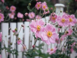 Pink Flowers by White Picket Fence, Langley, Whidbey Island, Washington, USA by Merrill Images