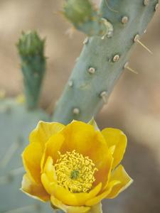 Prickly Pear Cactus in Bloom, Arizona-Sonora Desert Museum, Tucson, Arizona, USA by Merrill Images