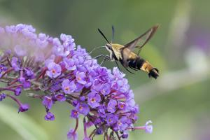 Snowberry Clearwing on Butterfly Bush, Illinois by Merrill Images