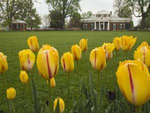 Tulips in Garden of Monticello, Virginia, USA by Merrill Images