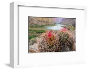 Usa, Arizona, Grand Canyon National Park. Barrel Cactus and Colorado River./n by Merrill Images