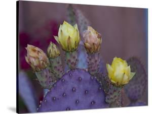 Usa, Arizona, Tucson. Yellow and pink flowers on purple Prickly Pear Cactus. by Merrill Images