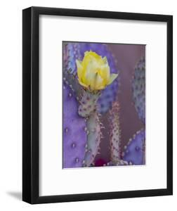 Usa, Arizona, Tucson. Yellow flower on purple Prickly Pear Cactus. by Merrill Images