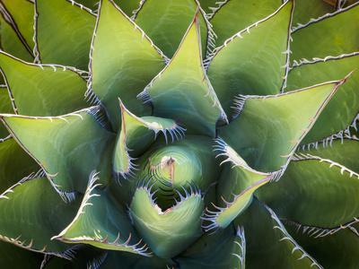 Usa, California, Joshua Tree. Agave cactus, viewed from above.