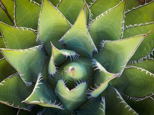 Usa, California, Joshua Tree. Agave cactus, viewed from above. by Merrill Images