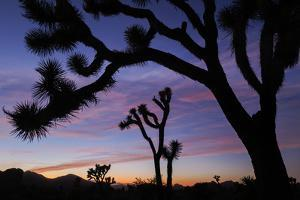 Usa, California, Joshua Tree National Park. Silhouettes of Joshua trees at sunset. by Merrill Images