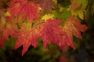 Usa, Washington State, Bellevue. Dewdrops on red and yellow leaves of maple tree in autumn./n by Merrill Images