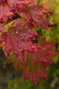 USA, Washington State, Bellevue. Dewdrops on red and yellow leaves of maple tree in autumn. by Merrill Images