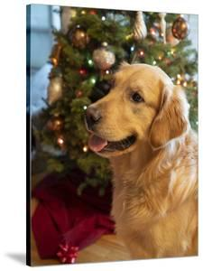 USA, Washington State, Bellevue, golden retriever dog near Christmas tree. (MR, PR) by Merrill Images