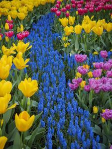 Usa, Washington State, Mount Vernon. Display garden at Skagit Valley Tulip Festival by Merrill Images