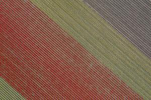 USA, Washington State, Mount Vernon, rows of color at tulip farm. by Merrill Images