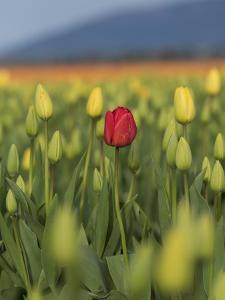 USA, Washington State, Mt. Vernon. One red tulip in a field of yellow by Merrill Images