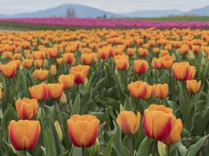 USA, Washington State, Mt. Vernon. Orange and pink tulip fields at Skagit Valley Tulip Festival. by Merrill Images