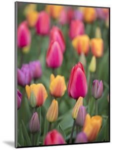 USA, Washington State, Mt. Vernon. Tulips in display garden at Skagit Valley Tulip Festival. by Merrill Images