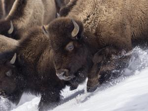 Usa, Wyoming, Yellowstone National Park. Lamar Valley, bison in motion on snowbank. by Merrill Images
