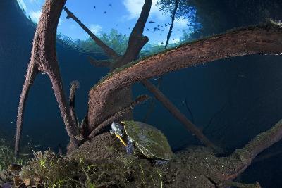 Mesoamerican Slider Turtle - Terrapin (Trachemys Scripta Venusta) in Sinkhole-Claudio Contreras-Photographic Print