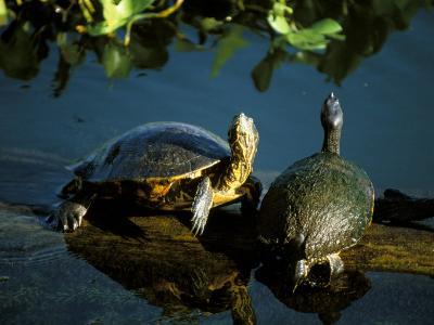 Mesoamerican Slider Turtles, River Chagres, Soberania Forest National Park, Panama-Sergio Pitamitz-Photographic Print