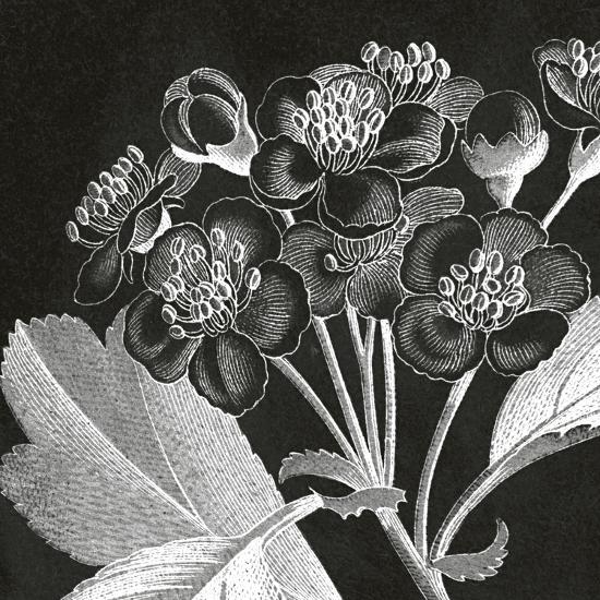 Mespilus Dxyacantha-Thea Schrack-Premium Giclee Print