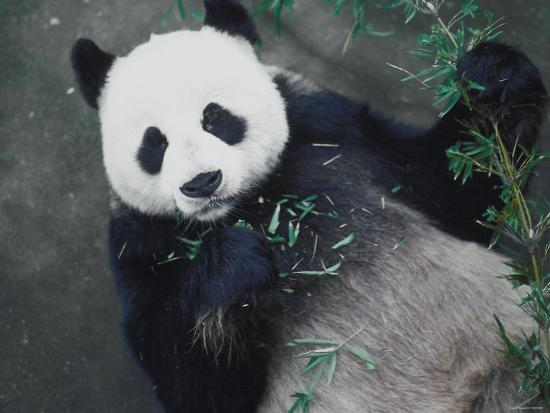 Messy Panda Lying Down While Eating Bamboo Shoots--Photographic Print