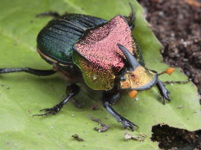 Metallic Colored Male Dung Beetle with Horn on its Head-George Grall-Photographic Print