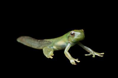 Metamorphosis of a Roque Treefrog, Hyloscirtus Phyllognathus-Joel Sartore-Photographic Print