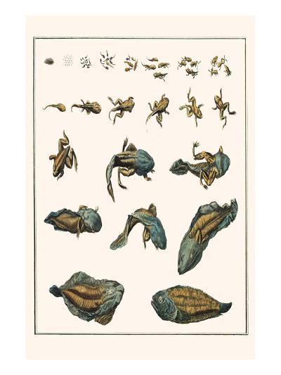 Metamorphosis of Frogs into Toads-Albertus Seba-Art Print