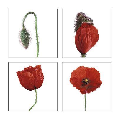 Metamorphosis of the poppy- Nuridsany & Perennou-Art Print