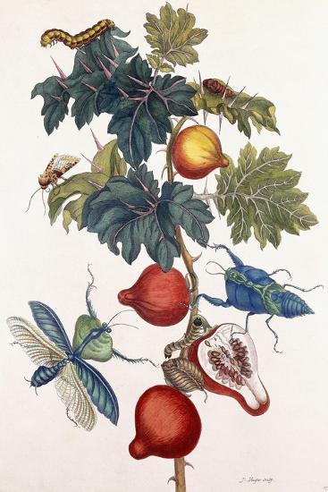 Metamorphosis of Various Insects, 1726-Pieter Sluiter Or Sluyter-Giclee Print