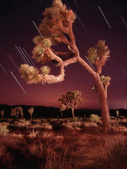 Meteor Trails and Joshua Trees-Richard Cummins-Photographic Print