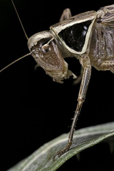 Metrioptera Roeselii (Roesel's Bush-Cricket) - Portrait-Paul Starosta-Photographic Print