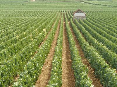 Meursault Genevrieres Premier Cru Vineyard, Cote De Beaune, France, Europe-Michael Short-Photographic Print