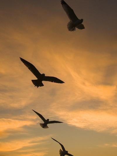 Mew Gull (Larus Canus) Group Silhouetted at Sunset in La Jolla, California-Tom Vezo/Minden Pictures-Photographic Print