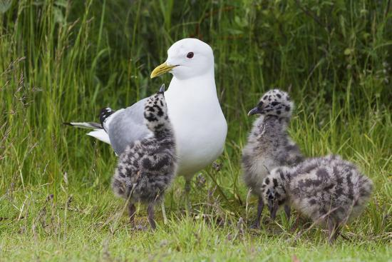 Mew Gull with Chicks-Ken Archer-Photographic Print