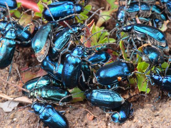 Mexican Blue Beetles in a Feeding Frenzy-George Grall-Photographic Print
