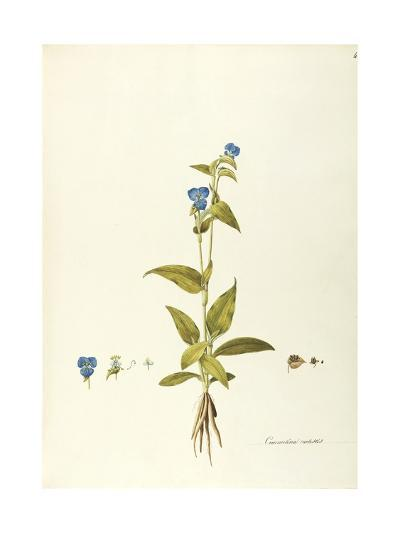 Mexican Day Flower or Blue Spiderwort (Commelina Coelestis)--Giclee Print
