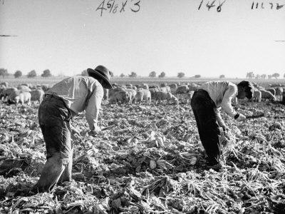 https://imgc.artprintimages.com/img/print/mexican-farm-workers-harvesting-beets_u-l-p74xo00.jpg?p=0