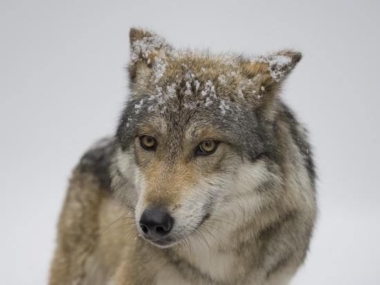 Mexican Gray Wolf at the Wild Canid Survival and Research Center-Joel Sartore-Photographic Print