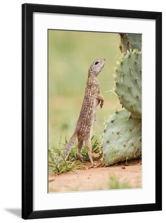 Mexican Ground Squirrel (Spermophilus Mexicanus) Searching for Food-Larry Ditto-Framed Photographic Print