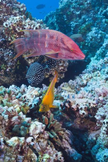 Mexican Hogfish (Bodianus Diplotaenia), Clarion Angelfish (Holacanthus Clarionensis) and Guineafowl-Reinhard Dirscherl-Photographic Print