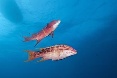 Mexican Hogfish (Bodianus Diplotaenia)-Reinhard Dirscherl-Photographic Print