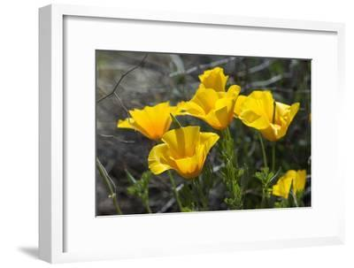 Mexican Poppies Blooming in the Little Florida Mountains, New Mexico