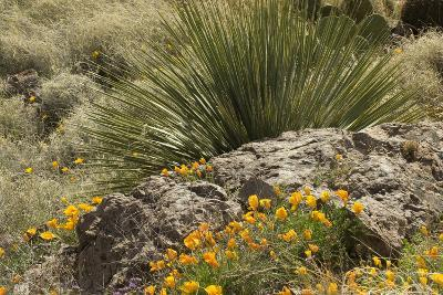 Mexican Poppies, narrow-Leaf Yucca and Other Chihuahuan Desert Plants in Rockhound State Park, NM--Photographic Print